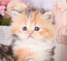 Persian Calico Kittens for Sale   Callie – Calico Persian Kitten