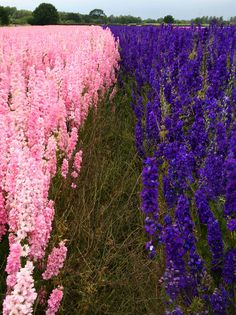 Delphinium flower fields in Worcestershire, UK