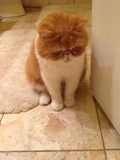 Persian Cat Shorthaired Chester Smooshyface, the exotic shorthair cat. Puppies And Kitties, Cats And Kittens, Dogs, Pretty Cats, Beautiful Cats, I Love Cats, Cute Cats, Animals And Pets, Cute Animals