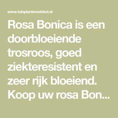 Rosa Bonica is een doorbloeiende trosroos, goed ziekteresistent en zeer rijk bloeiend. Koop uw rosa Bonica vertrouwd online bij tuinplantenwinkel.nl