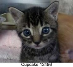 Cupcake 12496 is an adoptable Domestic Short Hair Cat in Middleburg, FL.  ...