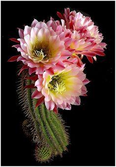 Jolies fleurs de cactus -