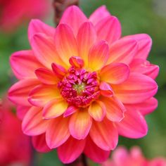*You are never too old to set another goal or dream a new dream* Found this gorgeous color dahlia flower driving down a road Dahlia Flower, Flowers, Pink Perennials, Dahlias, Winter, Goal, Summer, Spring, Instagram Posts