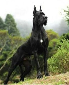 The traits I love about the Affectionate Great Dane Pup Beautiful Dogs, Animals Beautiful, Cute Animals, Big Dogs, Cute Dogs, Scary Dogs, Dane Puppies, Great Dane Puppy, Large Dog Breeds