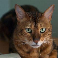 25 Cute Bengal Cat Pictures
