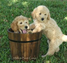 Goldendoodles | Goldendoodles English Goldendoodle Puppy Breeder - Goldendoodle ...