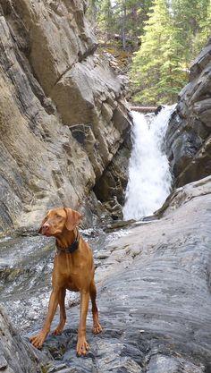 :-> Vizsla enjoying nature