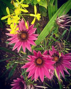 Bom dia!! Que tenhamos um ótimo dia! Morning! Have a nice day! 💚🕵🌼 #flores #flower #flowers #instapics #instaflower #instabeauty #naturephotography #nature #picoftheday #rosa #pink #yellow #amarelo #verde #green #beauty #beleza #day #morning #bomdia #peace #paz