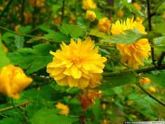 Výsledek obrázku pro Kerria japonica 'Pleniflora' zákula japonská