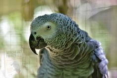 Black Magic Love Spells, Magic Spells, Talking Parrots, African Grey Parrot, Natural Instinct, White Magic, Parrot Bird, Cockatoo, Bird Species