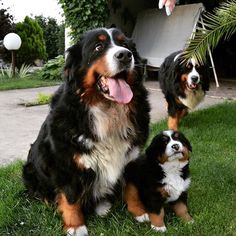 Happy Bernese Mountain Dog Mama and Pup.