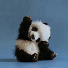 Baby Panda cute