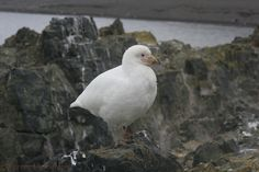 Snowy (Pale-faced) Sheathbill (Chionis albus)