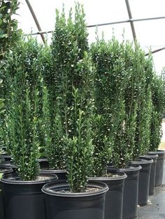 tall thin shrubs | Ilex crenata (Holly 'Sky Pencil') great for creating contemporary interest to front yard