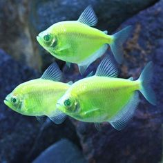 yellow and orange tetra | Electric Green GloFish Tetra - Gymnocorymbus ternetzi