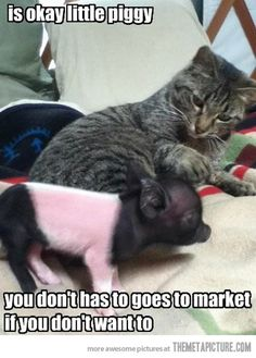 It's okay piggy… SO MUCH CUTENESS! I want a tea cup pig so bad!!!