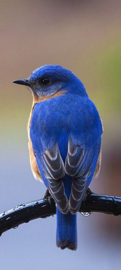 of a beautiful bluebird.Picture of a beautiful bluebird. Cute Birds, Pretty Birds, Beautiful Birds, Animals Beautiful, Cute Animals, Wild Animals Pictures, Bird Pictures, Animal Pictures, Exotic Birds
