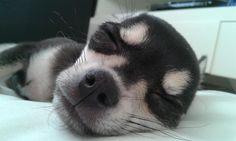 Chihuahua puppy sleep