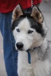 he looks like a skinny atticus!  Rocky: Siberian Husky, Dog; Delta, OH