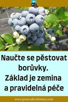 Naučte se pěstovat borůvky. Základ je zemina a pravidelná péče #borůvky Christmas In Ukraine, Blueberry, Fruit, Food, Lawn And Garden, Berry, Essen, Meals, Yemek