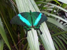 Twitter / Phi_Ledger: A glorious emerald peacock ...