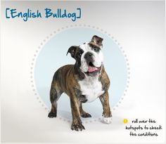 """Did you know the popular English Bulldog was developed in the British Isles and got the """"bull"""" prefix from its association with bull baiting? Read more about this breed by visiting Petplan pet insurance's Condition Checker!"""