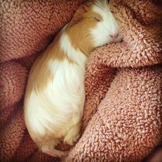 Guinea pig snuggles
