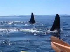 One of my favorite places, and activites there! San Juan Islands Kayaking by Killer Whale Pod, Puget Sound, Washington State