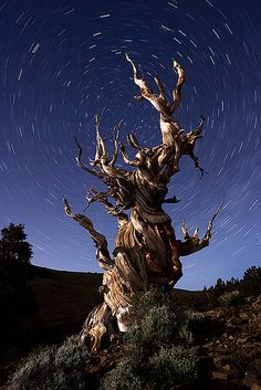 High up in the White mountains grow the Ancient Bristlecone Pines. Some of them are over 4700 years old and are still going strong.