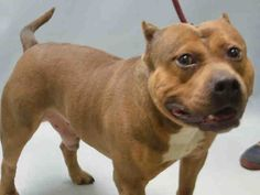 """JACK DANIELS aka JD - A1072502 - - Brooklyn Please Share: TO BE DESTROYED 05/09/16 **NEEDS A NEW HOPE RESCUE TO PULL** JD aka Jack Daniels is a three year old American Bully who likes to lay around all day and watch tv with his owner."""" – so starts his owner surrender notes. One also learns from those notes that he also lived in harmony with 2 cats, that he runs and hides when he hears loud noises, that he was friendly to strangers, that he likes to sleep in his crate"""