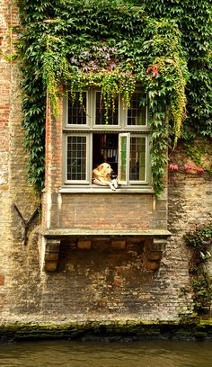 Beautiful Brugge, Belgium. Everytime I pass by, this dog is always there looking out the window :)