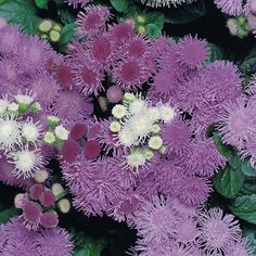 Ageratum, Floss Flower (Ageratum houstonianum)
