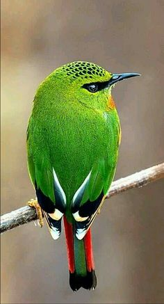 Fire-tailed Myzornis bird of India. (Mitash Bishwasl)