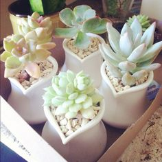 mini cream jugs & succulents