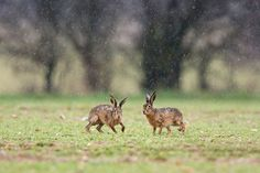 Hares can make a great subjects in wet conditions. Shoot them from the warmth of your car -they'll soon relax once you've been in position for a while