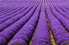 35 Beautiful Outstanding Photos of Landscape PhotographyTop Dreamer Top dreamer magazine #lavender #provence #purple #tourismepaca #violet #field #lavande