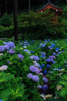 Hydrangea garden. Kyoto. Japan. 京都の三室戸寺。紫陽花の咲き乱れる庭園