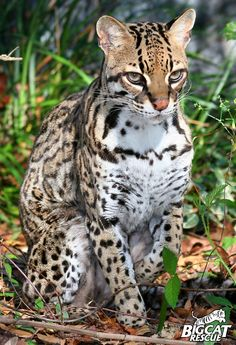 OCELOTS are twice the size of the average house cat