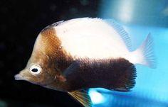 Hedgehog Butterflyfish (Prognathodes dichrous), Ascension Island