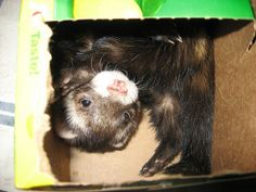 Ferrets are very inquisitive animals and need plenty of toys to keep them entertained and occupied. If they don't have enough toys or toys that interest them, they'll get easily bored. By giving them plenty of fun toys you'll be providing them with...