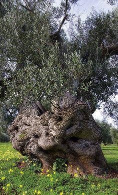 Majestic giants - Nature and Landscape - Puglia