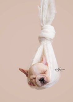 English Bulldog Puppy – Tips on What You Must Do When You Get Him Home For the First Time Newborn Puppy Photography Newborn Puppies, Small Puppies, Newborn Puppy Care, English Bulldog Puppies, English Bulldogs, American Bulldogs, French Bulldogs, Cockapoo Puppies, Frenchie Puppies