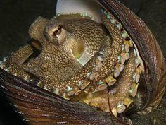 Amphioctopus marginatus (coconut octopus) by Alex Varani, via Flickr