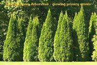 Nursery grown, top quality Arborvitae and Thuja trees. Green Giant Thuja, Emerald Green, and much, much more. Many hard to find Arborvitae and Thuja varieties as well that are perfect for most any home landscape project. Arborvitae Tree, Arborvitae Landscaping, Privacy Landscaping, Landscaping Ideas, Evergreen Trees, Trees And Shrubs, Trees To Plant, Shrubs For Privacy, Gardens