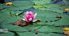 water lily by Fred Matos on 500px