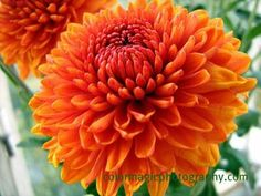 Beautiful! I think this is a form of Chrysanthemum