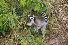 Diese Reise führt Sie vorbei an den Reisterrassen im Hochland, dem Regenwald im Ranomafana mit seinen vielen Lemuren, bis zu den Halbwüstencanyons des Isalo Massivs sowie entspannenden Strandtagen am Ende der Reise, zu einigen der schönsten Plätze der Pfefferinsel. 11 Tage Entdeckertour zu den Höhepunkten im Hochland und Süden (optional mit Zugfahrt) ab/bis Antananarivo.