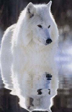#ArcticWolves Visit our page here: http://what-do-animals-eat.com/arctic-wolves/