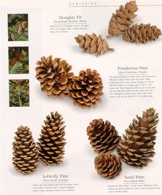 Type of pine cones: Douglas fir tree, ponderosa, loblolly, sand...  #pinecone #species