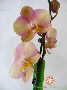 Фленопсис стандарт, размер 1270см. сорт SO pearly, 800р. Отправляем цветы почтой по РФ и СНГ. Цветы Череповец vk.com/club93731219